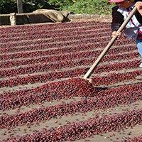 Commercial Coffee Farm El Salvador