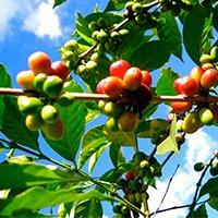 Ethiopian Maximo Coffee Beans