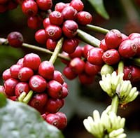 India Growing Wholesale Coffee Beans