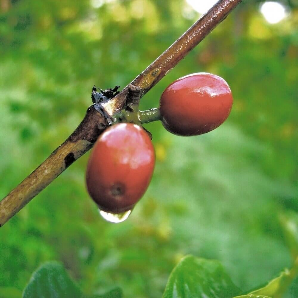 Maximo Espresso Coffee Beans Commercial